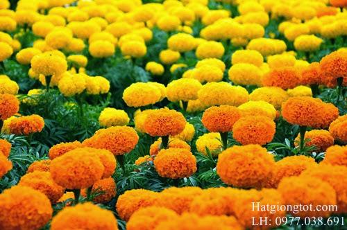 Hoa cúc vạn thọ mỹ