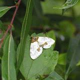 Geometridae : Ennominae : Abraxas sp. Probablement : Abraxas niphonibia WEHRLI, 1935. Baisha (2500 m, Nord de Lijiang, Yunnan), 19 août 2010. Photo : J.-M. Gayman