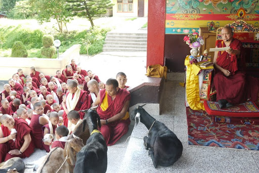 Lama Zopa Rinpoche blesses goats and other animals at Kopan, Nepal, July 2011. Photo by Ven. Kunsang.