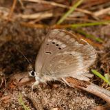 Orachrysops niobe TRIMEN, 1862, femelle. Photo : A. Coetzer (12 mars 2008)