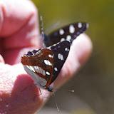 Limenitis reducta STAUDINGER, 1901. Plateau de Coupon (511 m), Viens (Vaucluse), 14 mai 2014. Photo : J.-M. Gayman