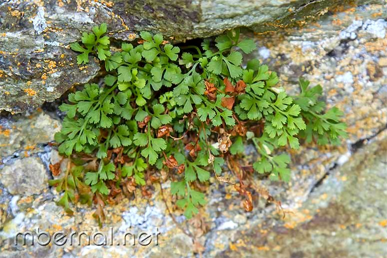 Asplenium ruta-muraria subsp. ruta-muraria