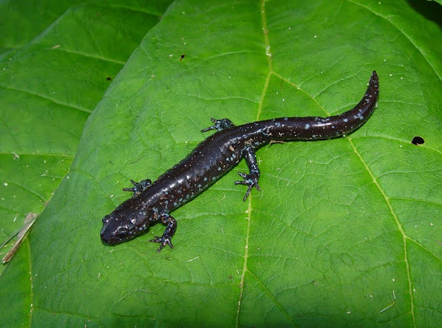 Blue-spotted Salamander (Tim Dyson)