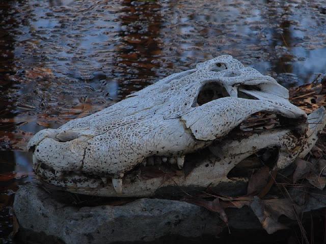 Questões e Fatos sobre Crocodilianos gigantes: Transferência de debate da comunidade Conflitos Selvagens.  - Página 3 476855858_95c3507641_o