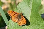 Rødlig perlemorsommerfugl6.jpg