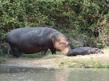 2018.08.25-066 hippopotames