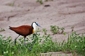 Jacana, Botswana