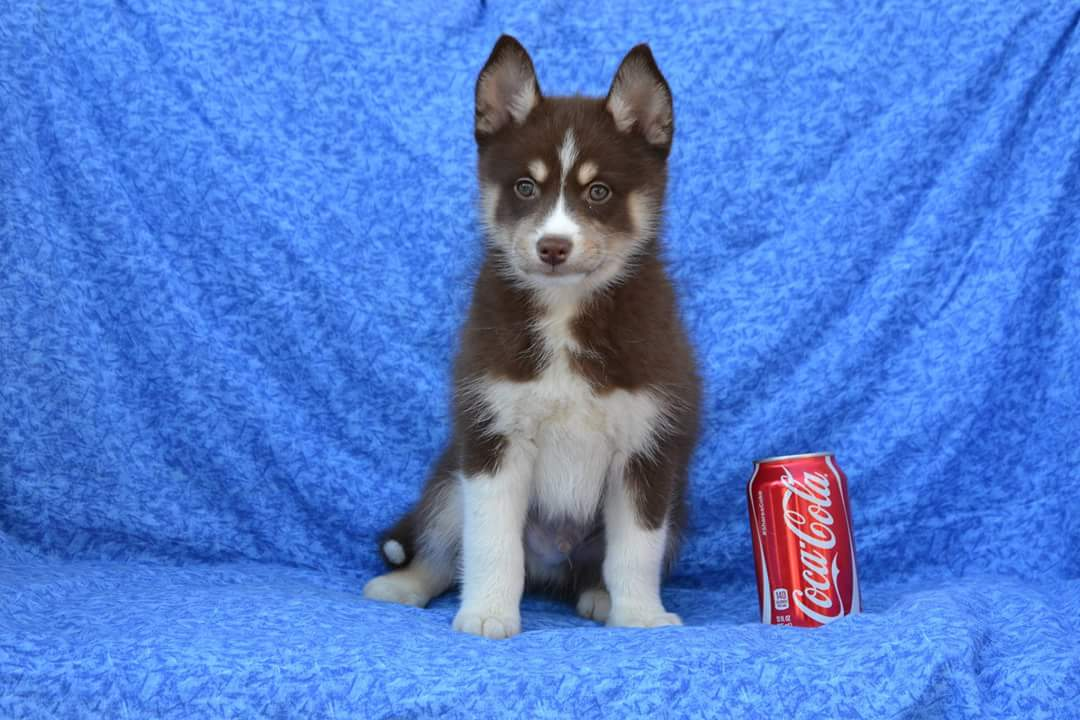 NEW PUPPY ARRIVALS: New Pomsky Puppies For Sale YouTube