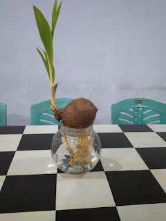 Cara Membuat Bonsai Kelapa Hidroponik