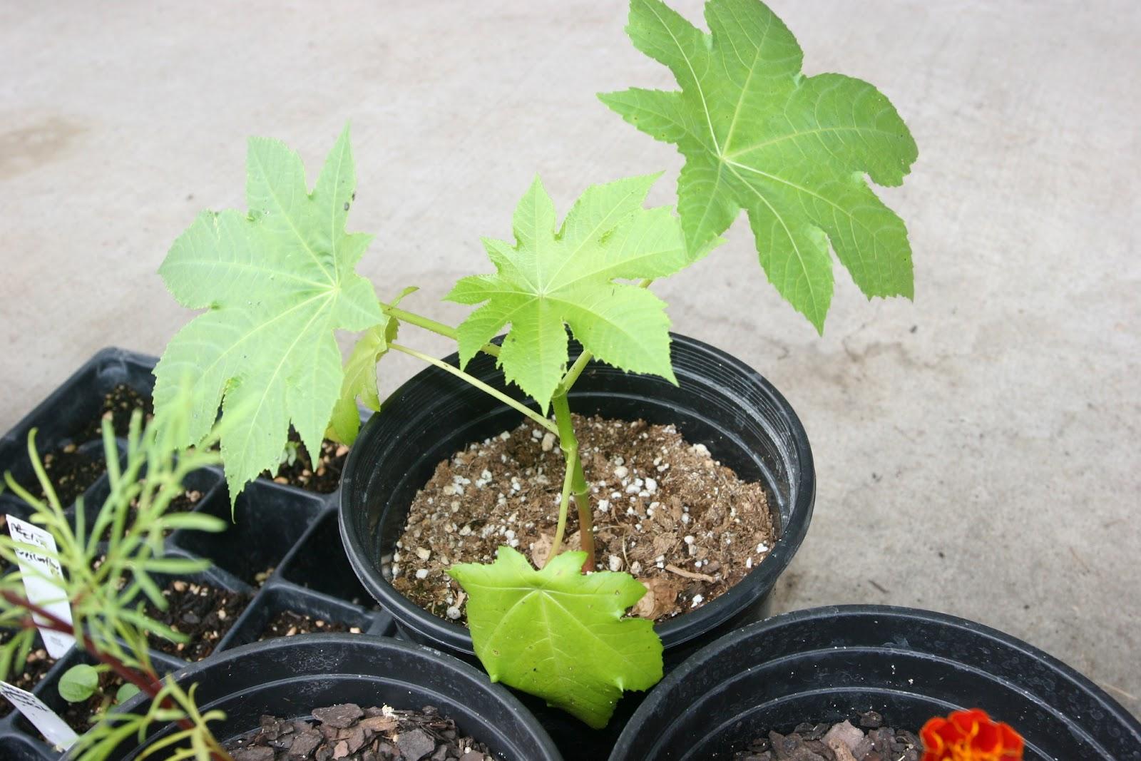 Gardening 2012 - IMG_3776.JPG