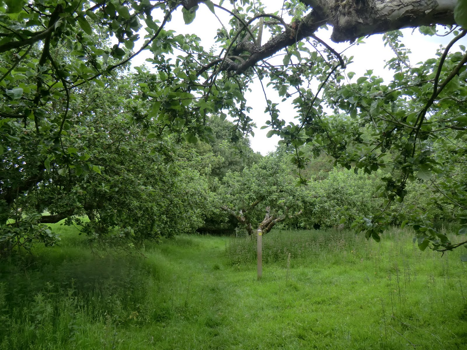 CIMG1908 Through an orchard, Capel