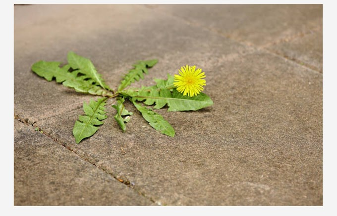 13 Health Benefits of Dandelion(in Kashmir called HANDI)