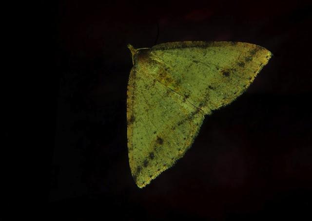 Geometridae : Oenochrominae : Nearcha nullata GUENÉE, 1857. Umina Beach (N. S. W.), 6 décembre 2011. Photo : Barbara Kedzierski