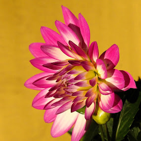 Dahlia side view by Patricia Phillips - Flowers Single Flower ( flowers dahlias pink side profile )