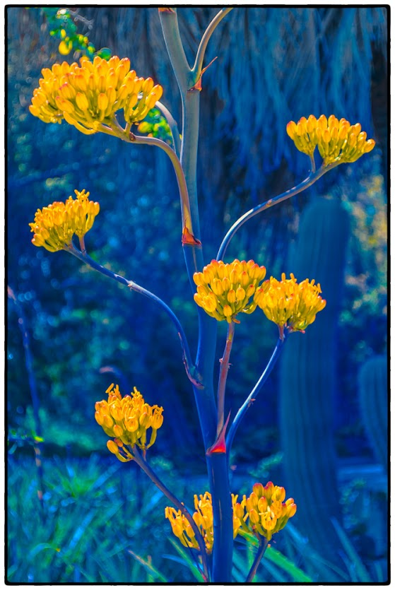 yellow bloom, cactus, lanscape photography
