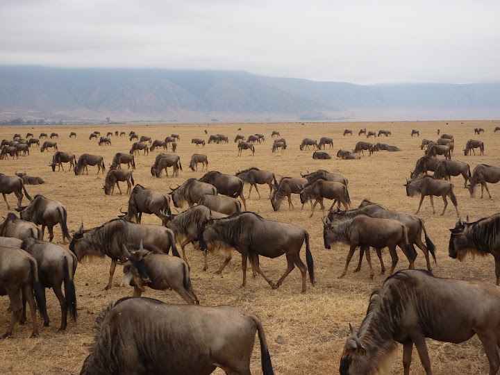 Wildebeest in the Ngorongoro Crater. From 10 of the Best Experiences on a Safari in Africa