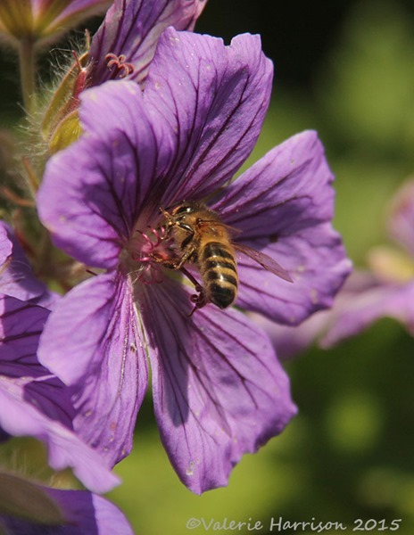 bee-on-geranium-2
