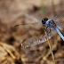 Nova espécie de libélula é descoberta em São Carlos
