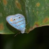 Satyrini : Euptychiina : Euptychia helios WEYMER, 1911. Explorer's Inn, Tambopata (Madre de Dios, Pérou), 31 décembre 2010. Photo : Meena