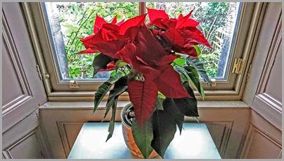 Poinsettia19