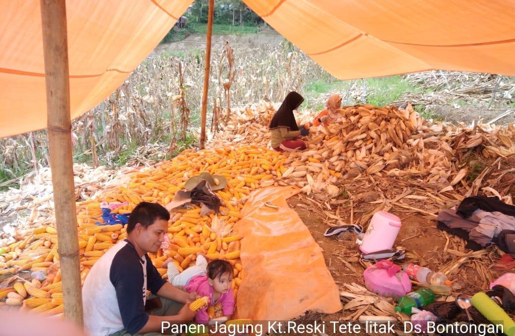 Petani Enrekang Bantu Jaga Ketersediaan Pangan Melalui Panen Jagung