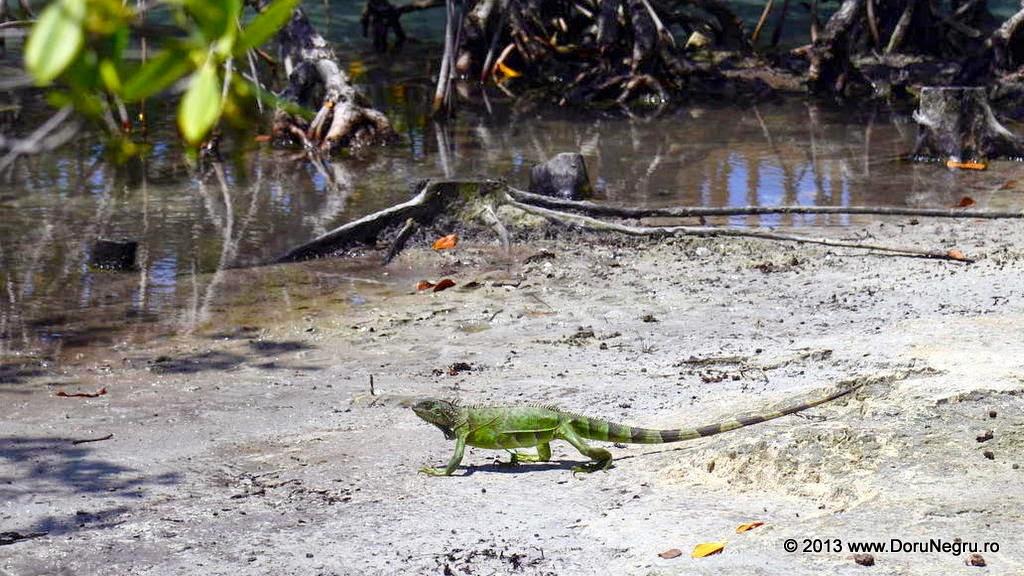 A iguana taking a stroll, Miami Seaquarium