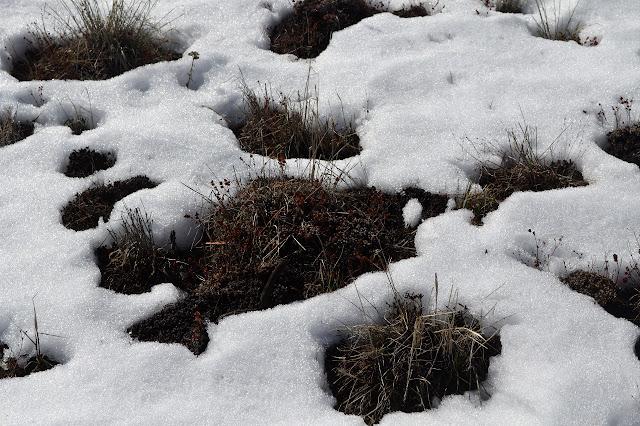 buckwheat in the snow