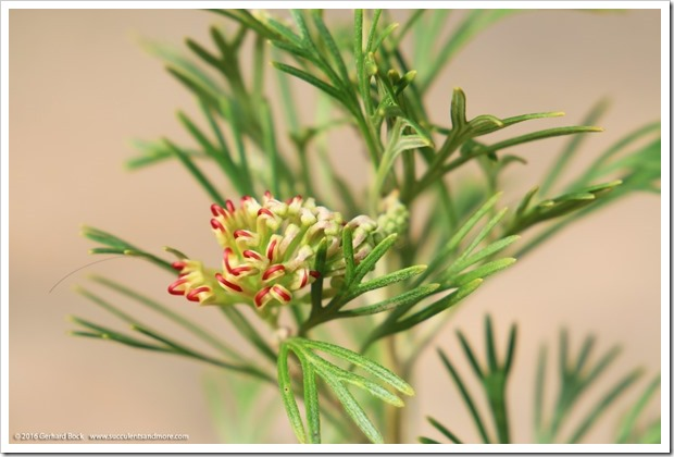 161115_FY_Grevillea-Flora-Mason_006