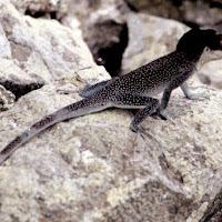 85_malpelo lizard.jpg