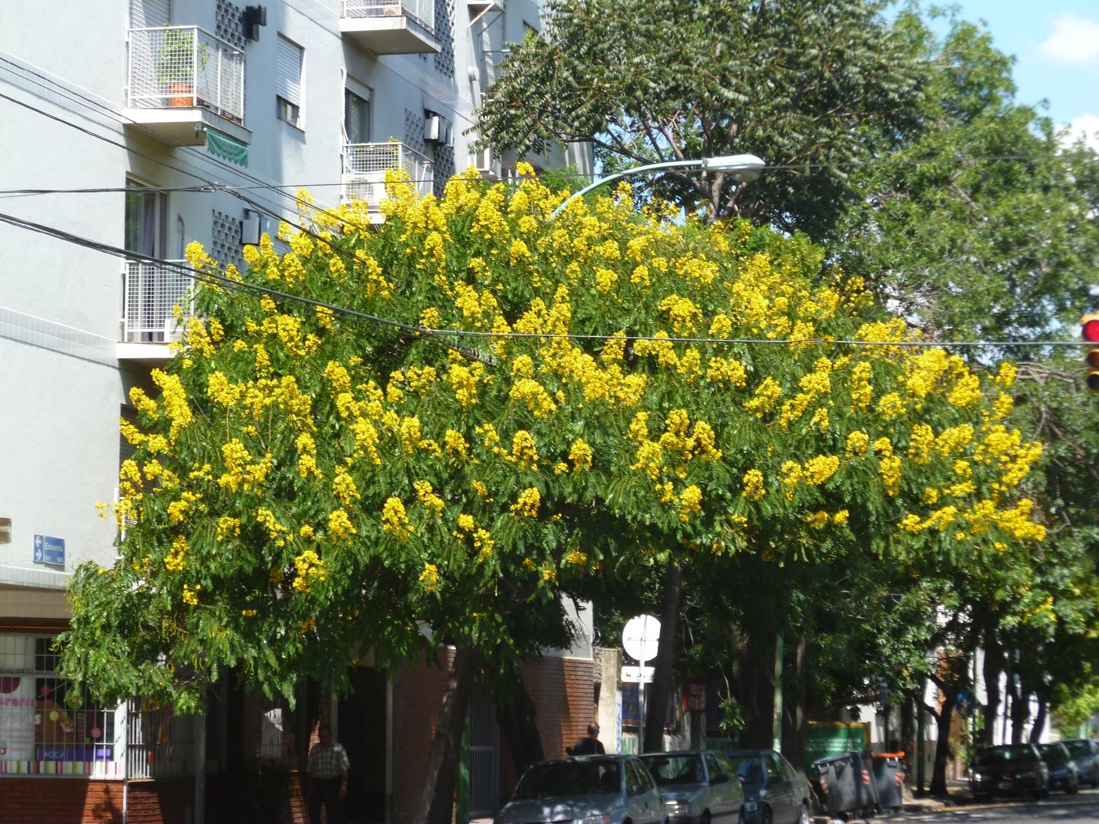 El jard n chic arboles florecidos en buenos aires for Arboles para jardin que den sombra