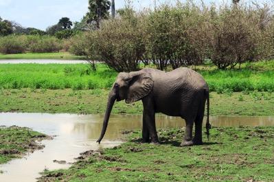 Elephant Drinking 1
