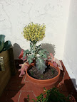 Flor del brocoli