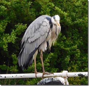 2 very bold heron