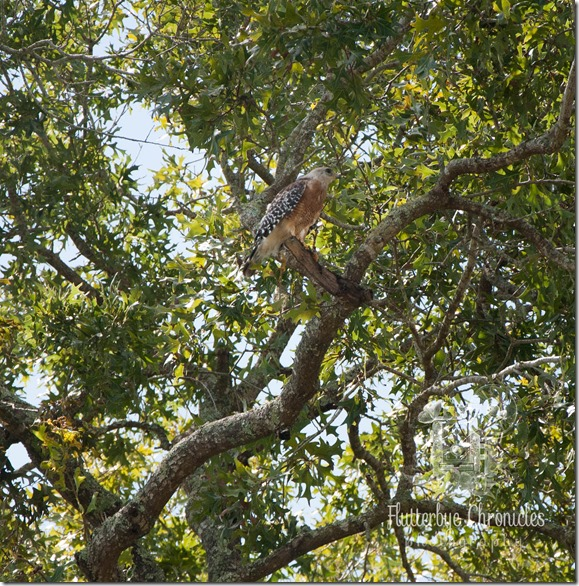 Baby Hawk in tree(©Jenny @ Flutterbye Chronicles)