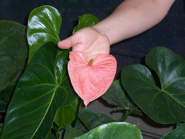 Cultivo de plantas de interior. - 100_0845.JPG