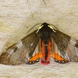 Arctiidae : Pericopinae : Dysschema magdala (Boisduval, 1870). Mount Totumas, 1900 m (Chiriquí, Panamá), 21 octobre 2014. Photo : J.-M. Gayman