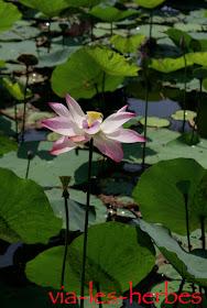 fleur de lotus vietnam.jpg
