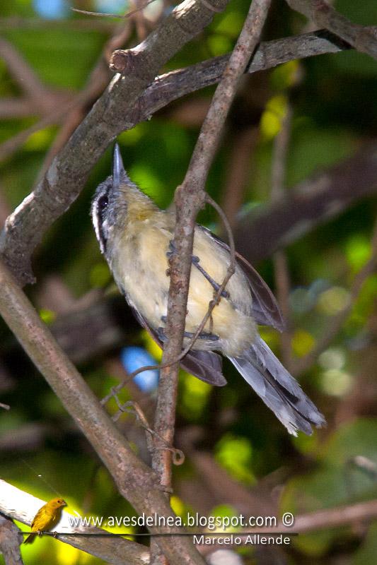 Tiluchi ala rojiza (Rufous-winged Antwren)