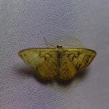 Proche de Geometridae : Sterrhinae : Idaea (Eois) incanata (Schaus, 1901) ou de I. subfervens (Prout, 1920). Santa María en Boyacá, 1120 m (Boyacá, Colombie), 2 novembre 2015. Photo : J.-M. Gayman