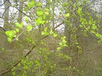 First Green shoots of spring.  Bollin Valley Way nr. Prestbury