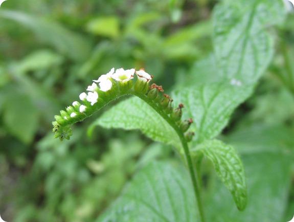 Scorpion-tail Heliotropium angiospermum
