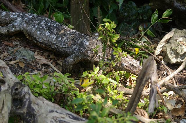 Lézard monitor. Gomantong (Sabah), 4 août 2011. Photo : J.-M. Gayman