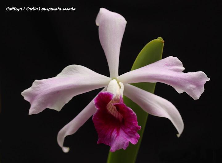Cattleya (Laelia) purpurata rosada IMG_8389b%252520%252528Large%252529