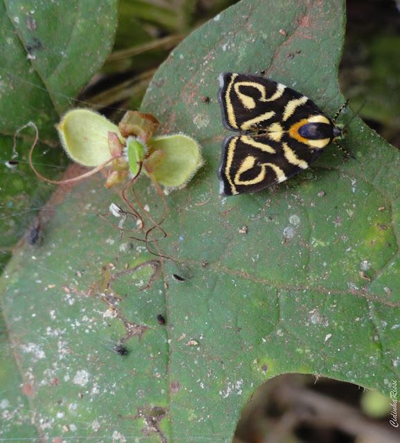 Choreutidae : Choreutinae : Hemerophila albertiana (CRAMER, 1781). Colider (Mato Grosso, Brésil), mai 2011. Photo : Cidinha Rissi.  http://choreutidae.lifedesks.org/node/725