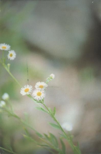 several small daisies