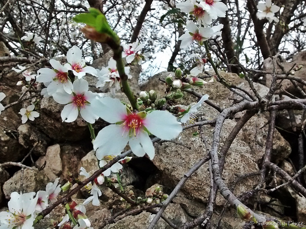 [Almond-blossoms2]