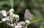 Vrietornsommerfugl, spini2.jpg