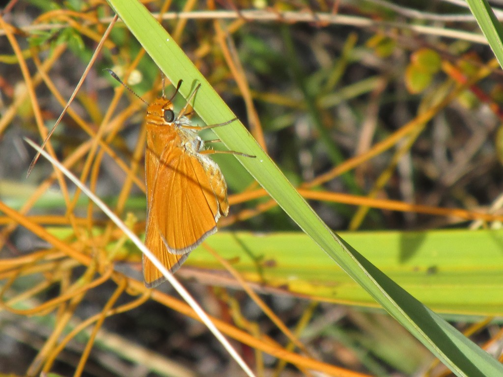 [Palmetto+Skipper+Butterfly+Insect+Bug%5B5%5D]