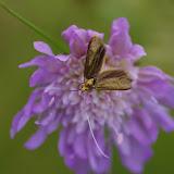 Adelidae : Nemophora metallica (PODA, 1761). Hautes-Lisières (Rouvres, 28), 8 juillet 2012. Photo : J.-M. Gayman
