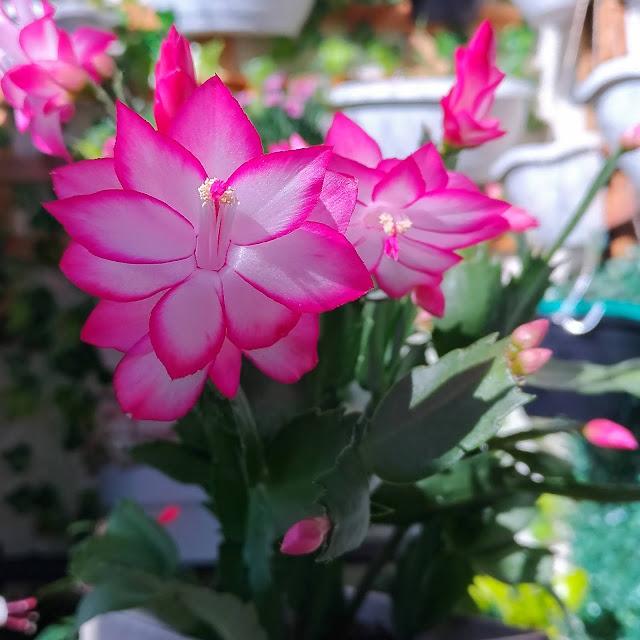 Schlumbergera truncata. Flor de Maio ou Flor de Seda.
